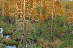 Dying_Cypress_Trees_0014